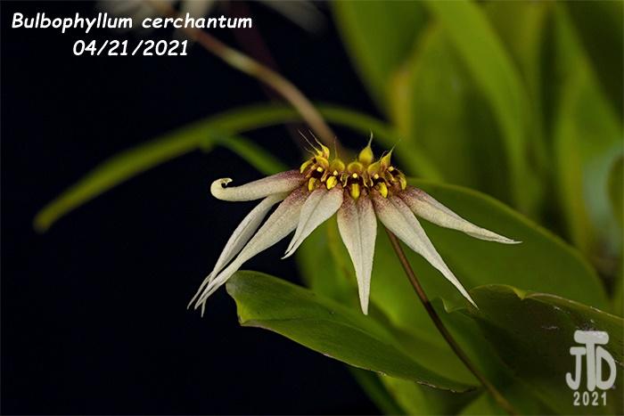 Name:  Bulbophyllum cerchantum4 04212021jpg.jpg Views: 50 Size:  98.1 KB