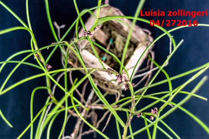 Name:  Luisia zollingeri.jpg Views: 298 Size:  151.9 KB