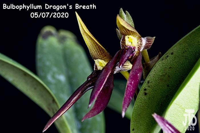 Name:  Bulbophyllum Dragon's Breath3 05082020.jpg Views: 78 Size:  122.2 KB