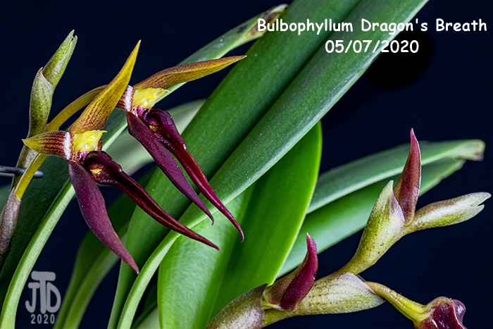 Name:  Bulbophyllum Dragon's Breath5 05082020.jpg Views: 79 Size:  181.7 KB