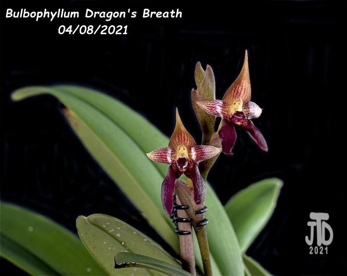 Name:  Bulbophyllum Dragon's Breath3 04082021.jpg Views: 53 Size:  117.4 KB