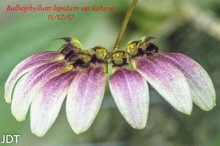 Name:  Bulbophyllum lepidum var kahang2 300mm 111517.jpg Views: 113 Size:  288.3 KB
