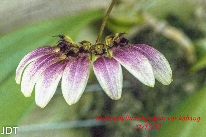 Name:  Bulbophyllum lepidum var kahang1 300mm 111517.jpg Views: 84 Size:  303.1 KB