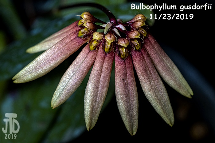 Name:  Bulbophyllum gusdorfii4 11222019.jpg Views: 56 Size:  128.5 KB