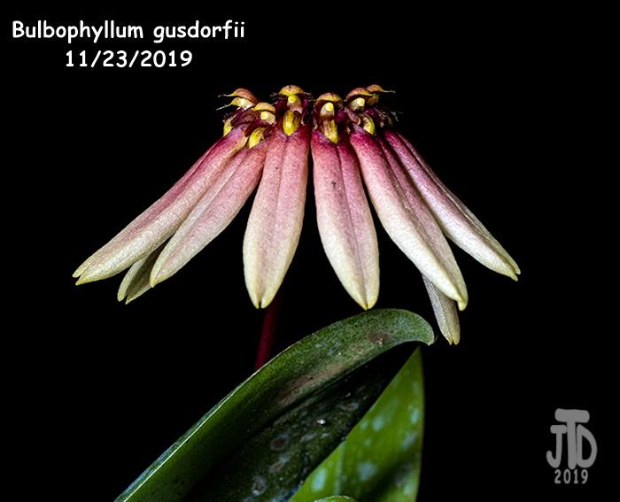 Name:  Bulbophyllum gusdorfii1 11222019.jpg Views: 48 Size:  100.7 KB