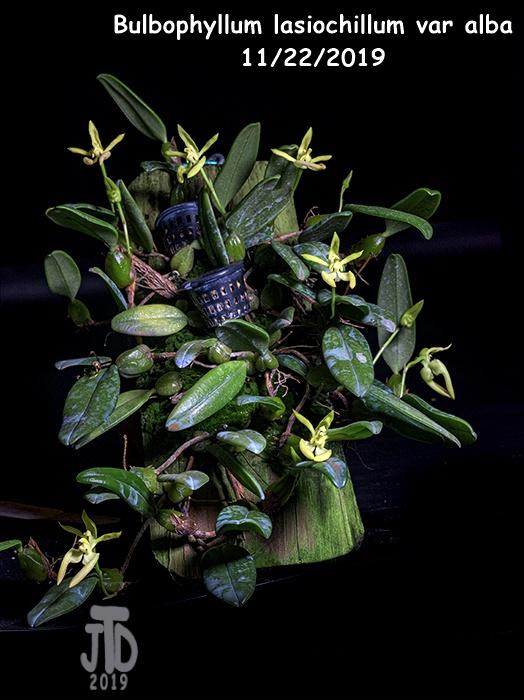 Name:  Bulbophyllum lasiochillum var alba1 11212019.jpg Views: 35 Size:  157.3 KB