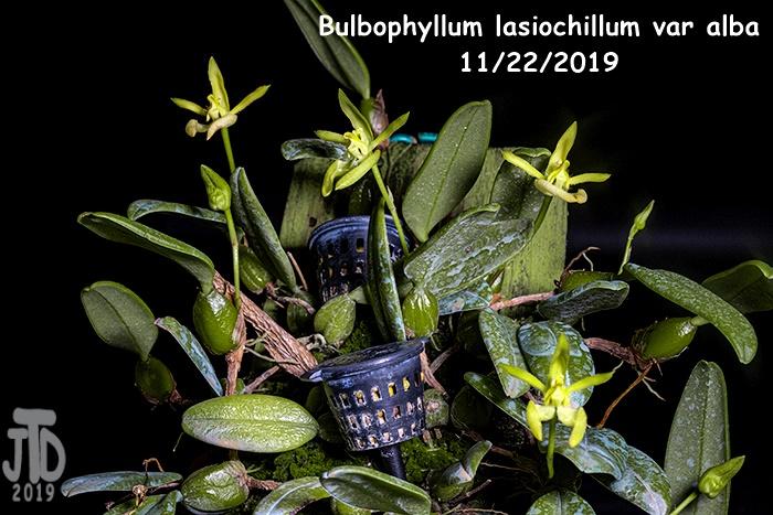Name:  Bulbophyllum lasiochillum var alba3 11212019.jpg Views: 32 Size:  160.5 KB