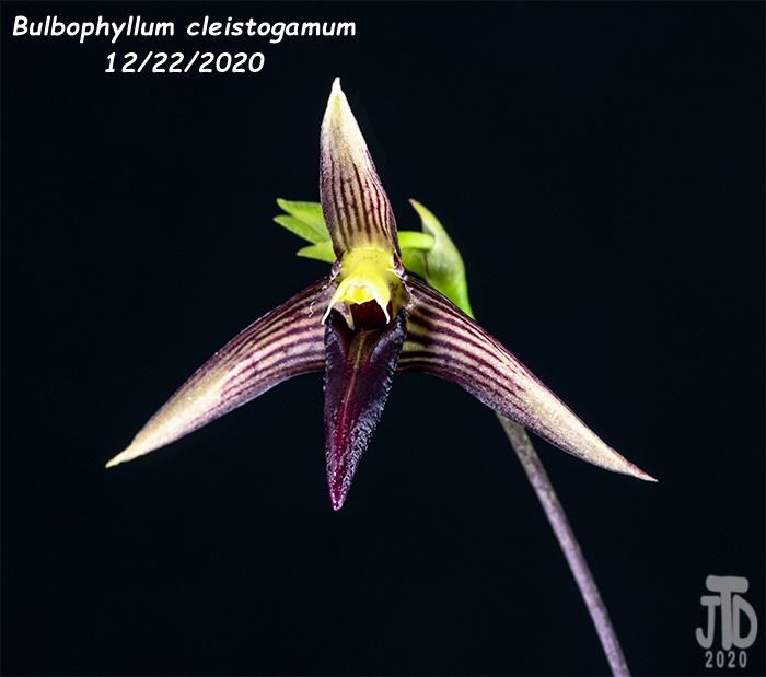 Name:  Bulbophyllum cleistogamum3 12222020.jpg Views: 85 Size:  99.4 KB
