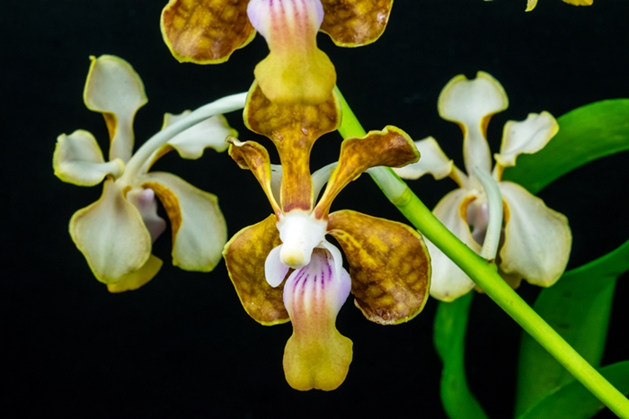 Name:  Vanda limbata X Vanda denisoniana X Vanda Naeem Ramatalley 60mm.jpg Views: 509 Size:  217.9 KB