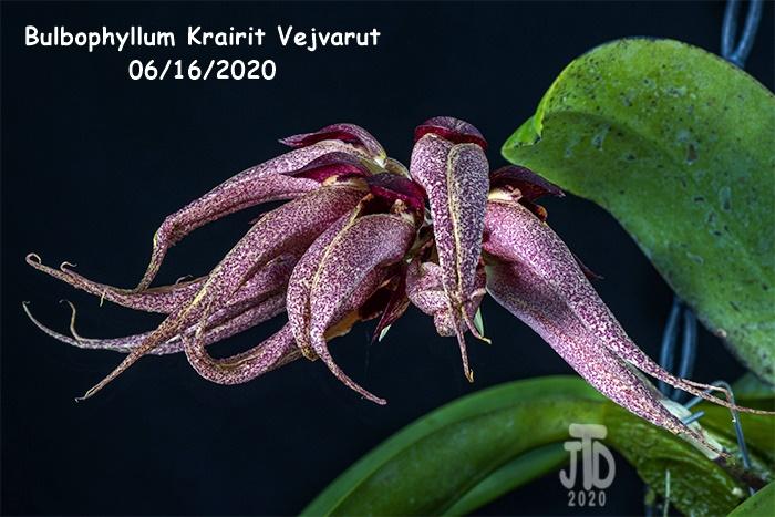 Name:  Bulbophyllum Krairit Vejvarut3 06162020.jpg Views: 66 Size:  171.3 KB
