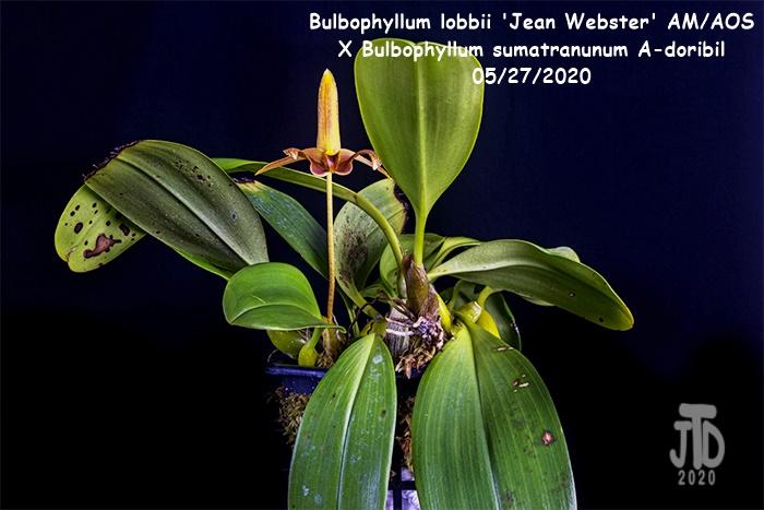 Name:  Bulbophyllum lobbii 'Jean Webster' AMAOS X Bulb. sumatranunum A-doribil1 05282020.jpg Views: 53 Size:  158.1 KB