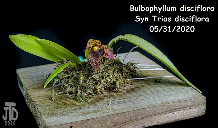Name:  Bulbophyllum Trias disciflora1 05312020.jpg