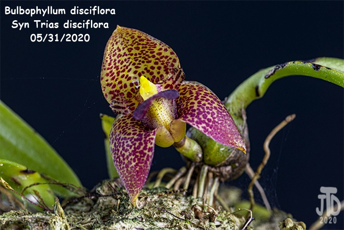 Name:  Bulbophyllum Trias disciflora4 05312020.jpg