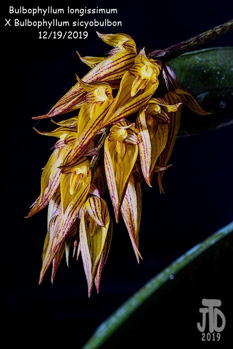 Name:  Bulbophyllum longissimum X Bulb. sicyobulbon3 12192019.jpg Views: 80 Size:  131.2 KB
