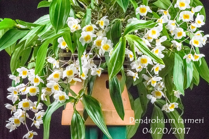 Name:  Dendrobium farmeri 75mm.jpg