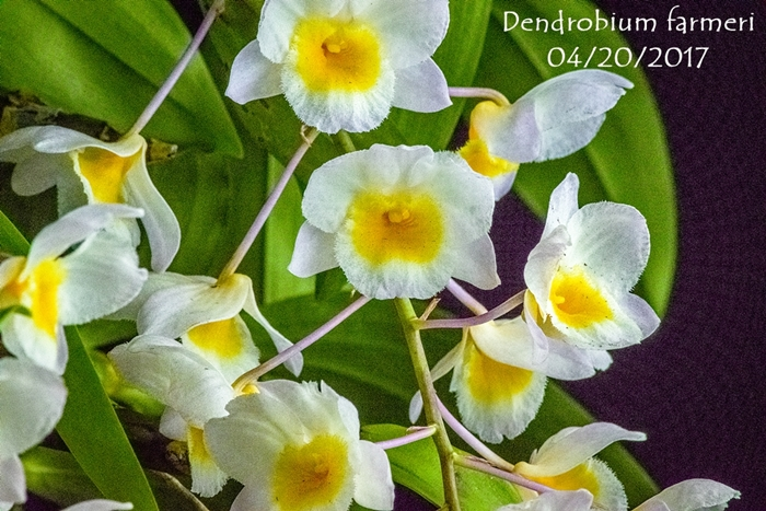 Name:  Dendrobium farmeri 300mm.jpg