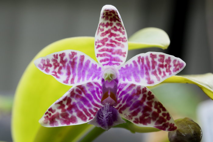 Name:  Phal luddemaniana1.jpg