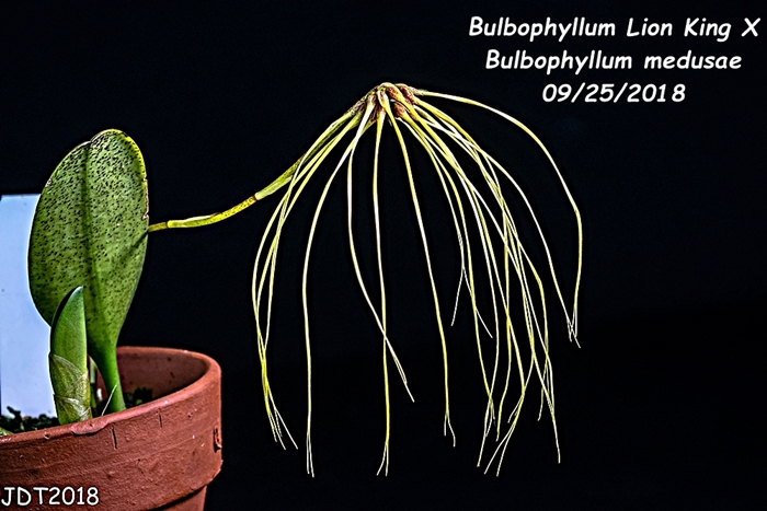 Name:  Bulbophyllum Lion King X Bulbo. medusae1 09-23-2018.jpg Views: 93 Size:  259.8 KB