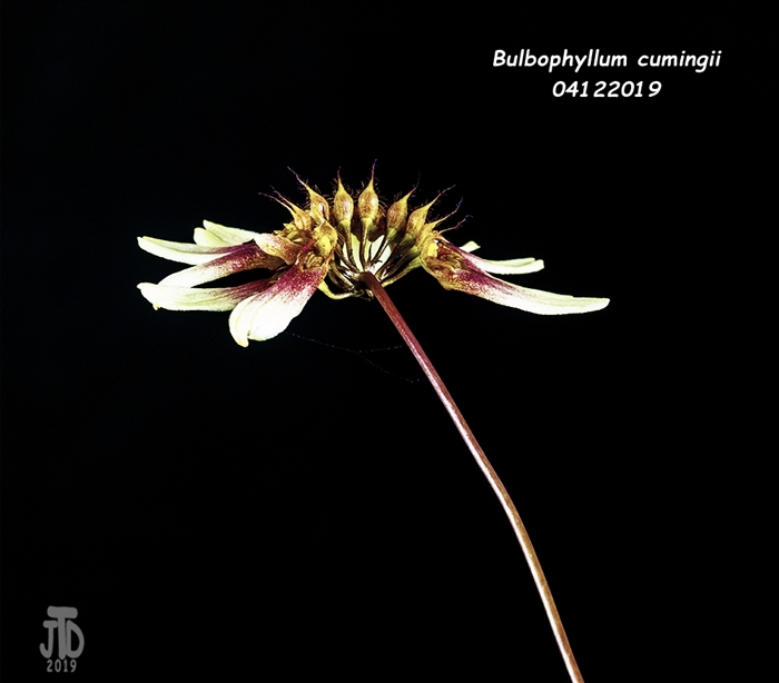 Name:  Bulbophyllum cumingii2 04112019.jpg Views: 92 Size:  142.2 KB