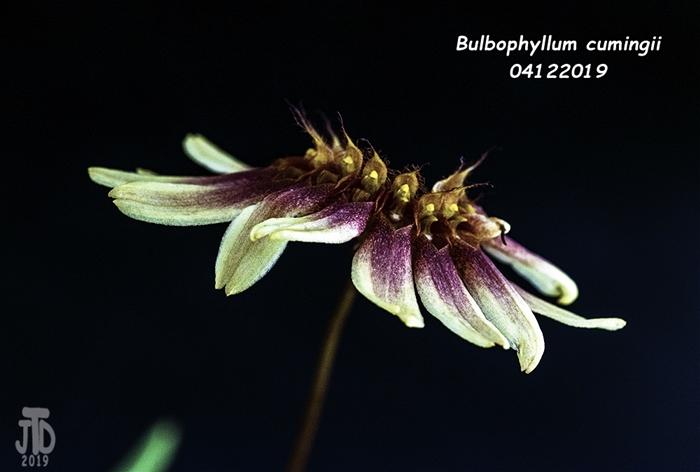 Name:  Bulbophyllum cumingii5 04112019.jpg Views: 84 Size:  208.6 KB