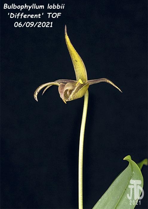 Name:  Bulbophyllum lobbii 'Different' TOF4 06092021.jpg Views: 35 Size:  130.9 KB