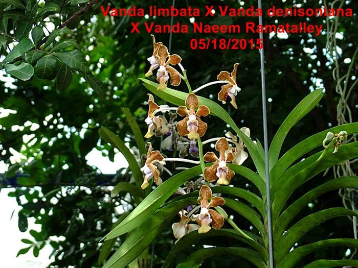Name:  Vanda limbata X Vanda denisoniana X Vanda Naeem Ramatalley.jpg Views: 794 Size:  372.9 KB