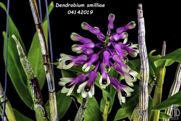 Name:  Dendrobium smilliae1 04142019.jpg Views: 112 Size:  286.7 KB