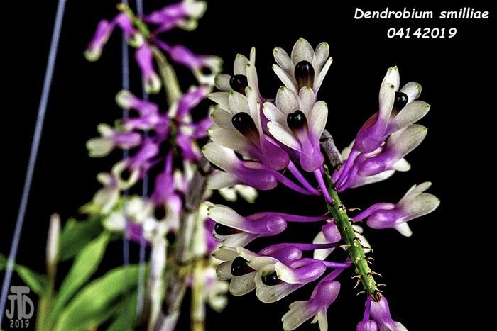 Name:  Dendrobium smilliae2 04142019.jpg Views: 126 Size:  219.3 KB