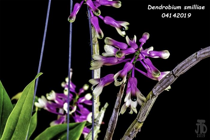 Name:  Dendrobium smilliae3 04142019.jpg Views: 108 Size:  194.9 KB