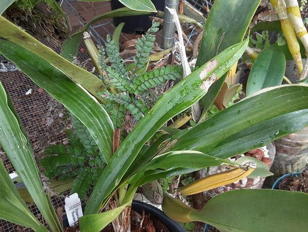 Name:  Zygopetalum_Debbie-DeMello_'Honolulu-Baby'_variegation_crop6x6.jpg Views: 61 Size:  153.0 KB