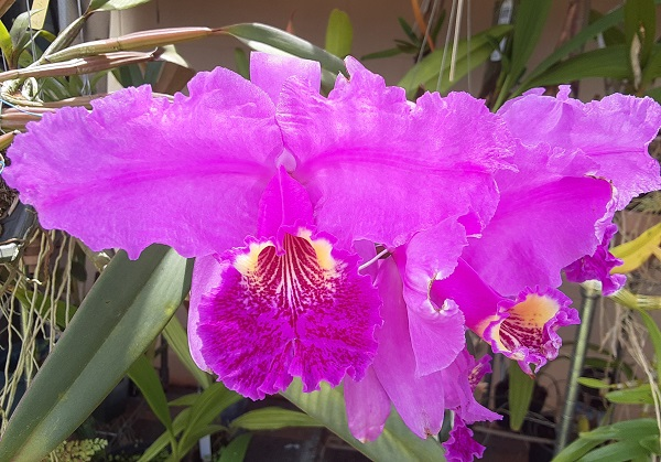 Name:  Cattleya_lueddemanniana_4_on_stem_left_bloom_crop6x6.jpg Views: 57 Size:  121.2 KB