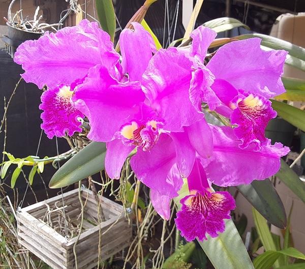Name:  Cattleya_lueddemanniana_4_on_stem_crop6x6.jpg Views: 57 Size:  168.3 KB
