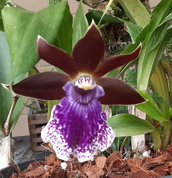 Name:  Zygopetalum_Debbie-DeMello_'Honolulu-Baby'2_crop6x6.jpg Views: 48 Size:  157.0 KB