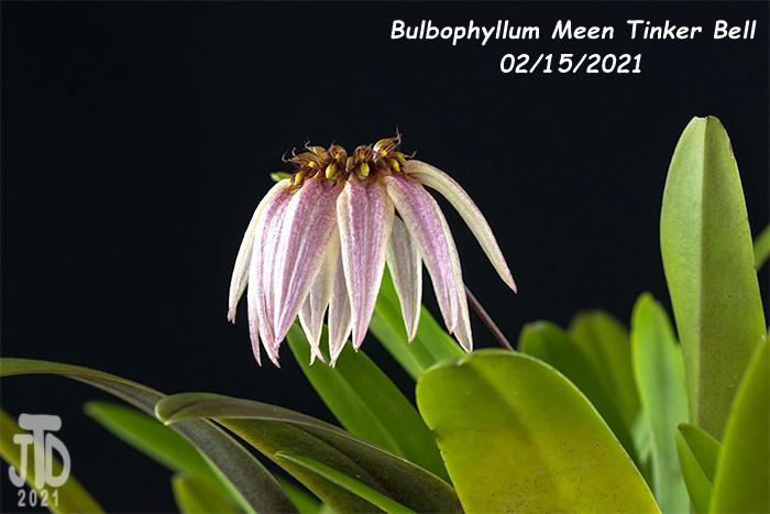 Name:  Bulbophyllum Meen Tinker Bell2 02152021.jpg Views: 65 Size:  120.8 KB