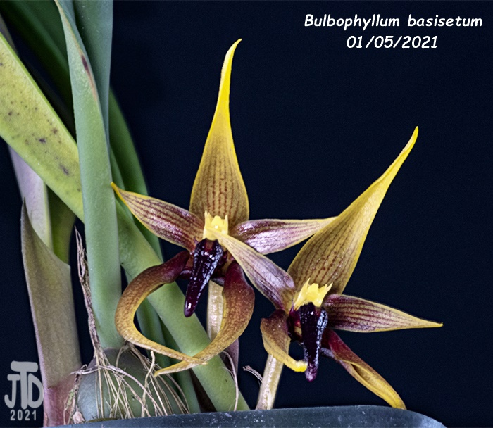 Name:  Bulbophyllum basisetum3 01052021.jpg Views: 80 Size:  166.2 KB