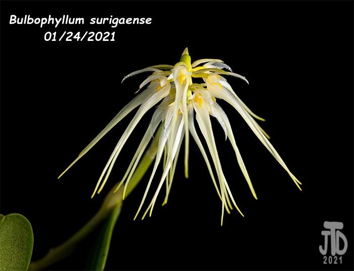 Name:  Bulbophyllum surigaense3 01242021.jpg Views: 53 Size:  86.0 KB