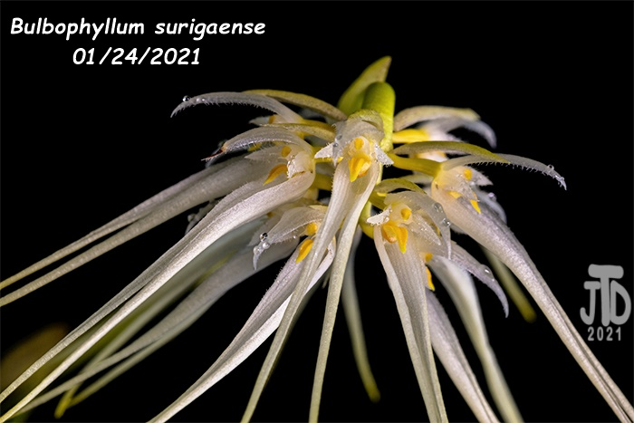 Name:  Bulbophyllum surigaense5 01242021.jpg