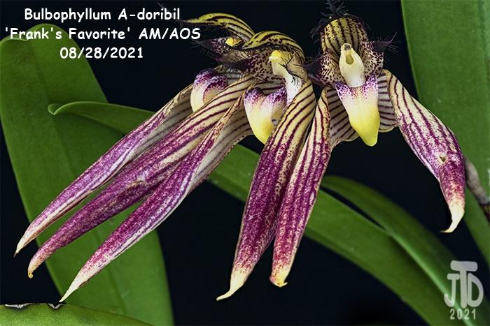 Name:  Bulbophyllum A-doribil 'Frank's Favorite' AMAOS1 08282021.jpg Views: 33 Size:  175.3 KB