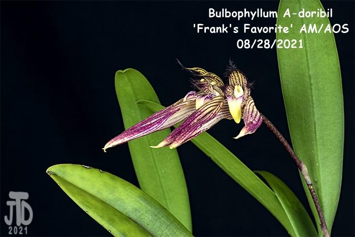 Name:  Bulbophyllum A-doribil 'Frank's Favorite' AMAOS4 08282021.jpg Views: 27 Size:  142.9 KB