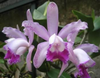 Name:  cattleya-amethystoglossa-x-guarianthe-aurantiaca-1.jpg Views: 754 Size:  14.2 KB