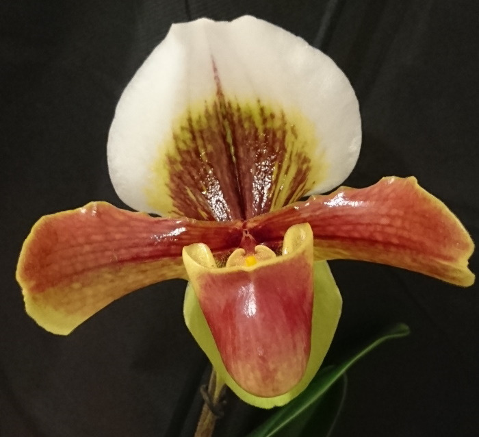 Name:  Paphiopedilum Harbur4a.jpg