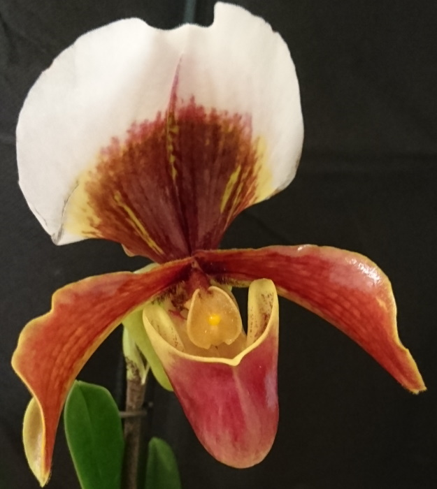 Name:  Paphiopedilum Harbur5a.jpg
