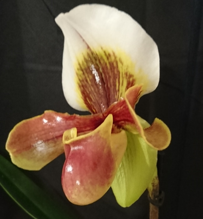 Name:  Paphiopedilum Harbur9a.jpg