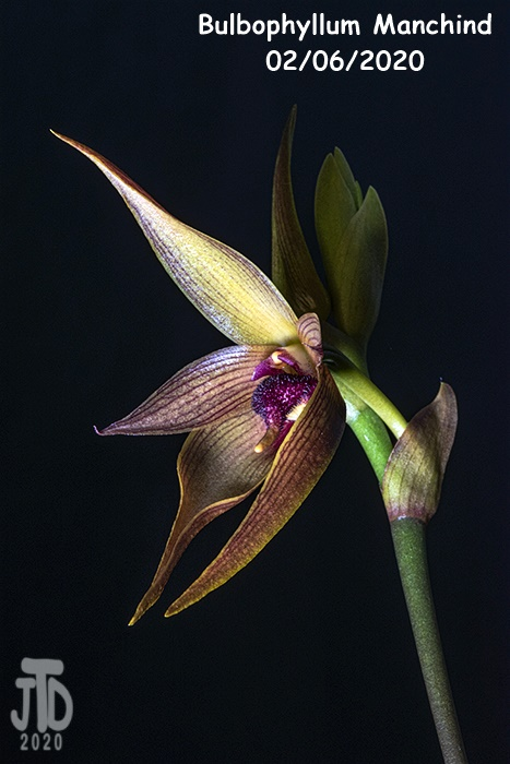 Name:  Bulbophyllum Manchind5 02062020.jpg Views: 62 Size:  115.1 KB