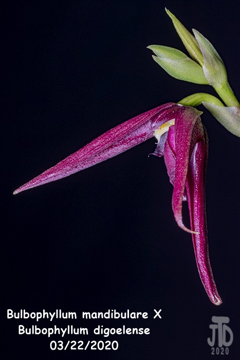 Name:  Bulbophyllum mandibulare X Bulbophyllum digoelense3 03212020.jpg Views: 55 Size:  117.3 KB