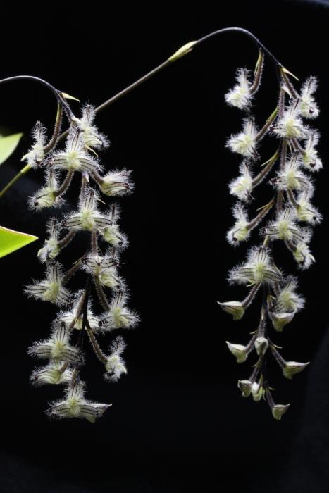 Name:  Bulbophyllum lyndleyanum.jpg Views: 27 Size:  251.8 KB