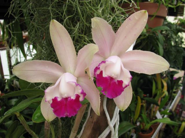 Name:  C. intermedia var. orlata 1 (Small).JPG Views: 2170 Size:  54.1 KB