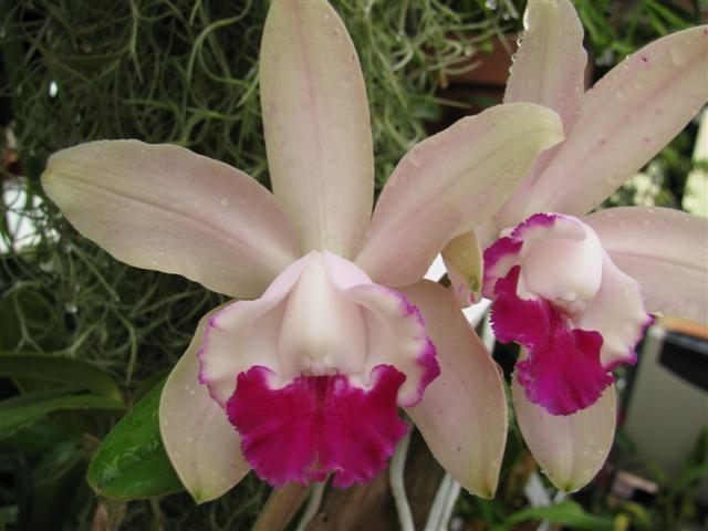 Name:  C. intermedia var. orlata 2 (Small).JPG Views: 2338 Size:  43.4 KB