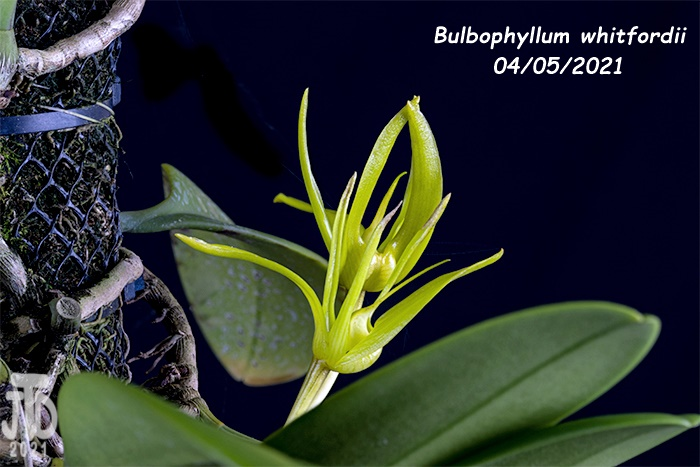 Name:  Bulbophyllum whitfordii4 04052021.jpg Views: 53 Size:  127.2 KB