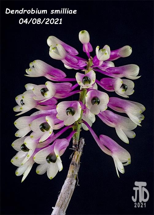 Name:  Dendrobium smilliae1 04082021.jpg Views: 73 Size:  154.9 KB